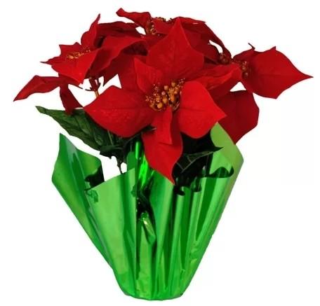 "6"" Pot Poinsettia"
